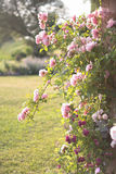 Pink climbing roses in evening light. Pink climbing roses in a cottage garden in evening light Stock Images