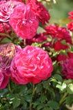 Pink climbing roses in a garden Royalty Free Stock Photos