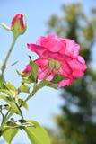 Pink climbing roses in a garden Stock Photos