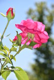 Pink climbing roses in a garden Royalty Free Stock Images