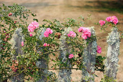Pink Climbing Roses on a Mossy Fence Stock Photos
