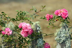 Pink Climbing Roses on a Mossy Fence Stock Photo