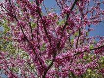Pink cloud of the Judas Tree, Eastern Redbud or Eastern Redbud blooming in the spring stock photo