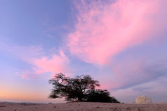 Pink clouds and tree of life Bahrain, HDR Royalty Free Stock Image