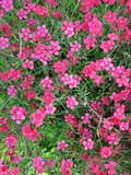 Pink clove flower Stock Photo