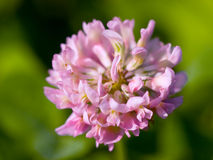 Pink clover Royalty Free Stock Images