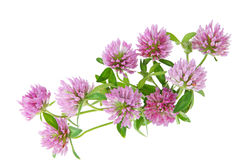 Pink Clover Stock Image
