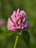 Pink clover Stock Photo