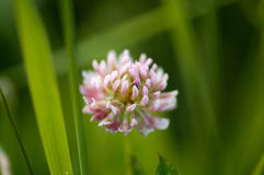Pink clover Stock Images