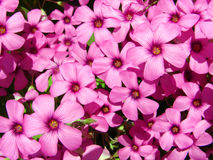 Pink clover. Spring flower, pink clover close up Stock Photography