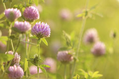 Pink clover closeup in meadow Royalty Free Stock Images