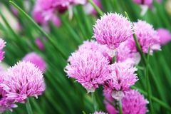 Pink clover in the field close up picture. Flowers of pink clover in the field close up picture royalty free stock photos