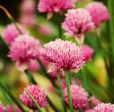 Pink clover in the field. Flowers of pink clover in the field stock photos
