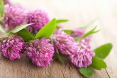 Pink clover flower Stock Images