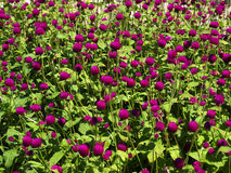 Pink clover flower bed lot in the sunlight. Royalty Free Stock Image