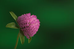 Pink clover flower blossom on green stem against green backgroun. D Royalty Free Stock Image