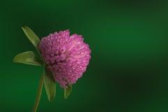 Pink clover flower blossom on green stem against green backgroun Royalty Free Stock Image