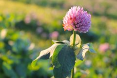 Pink clover flower closeup as background or greeting card royalty free stock image