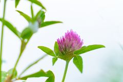 Pink clover flower closeup with green leaves. In spring time display stock photography