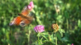 Pink clover flower and European peacock butterfly, flying away. royalty free stock image