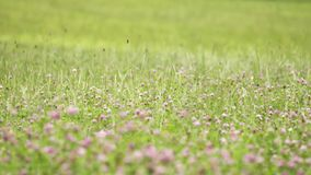 Pink clover flower growing in green grass margin. Pink fresh spring clover flower growing in green grass margin on summer day, close up stock video footage