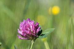 Pink clover flower head Royalty Free Stock Images