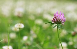 Pink clover flower Royalty Free Stock Photos