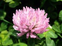 Pink clover. Flower after rain Stock Image