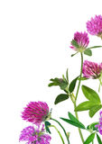 Pink clover flowers in corner isolated on white Stock Photography