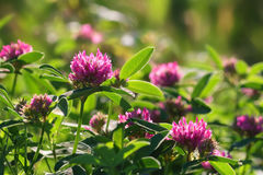 Pink clover flowers on green meadow Stock Images