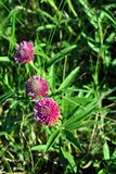Pink clover flowers group on soft green grass background. Top view royalty free stock images