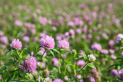 Pink clover flowers on meadow Stock Photos