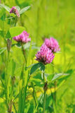 Pink clover flowers. On meadow,selective focus royalty free stock photos