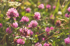 Pink clover flowers on meadow. Royalty Free Stock Photos