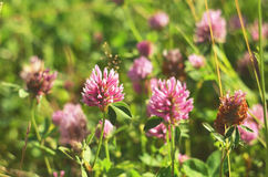 Pink clover flowers on meadow. Royalty Free Stock Photo