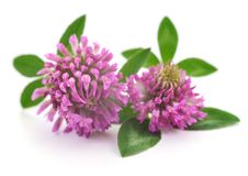 Pink clover flowers. Stock Images