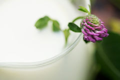 Pink Clover in glass jug of milk close up. Flower of Pink Clover in glass jug of milk close up Royalty Free Stock Photos