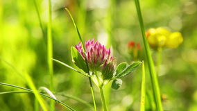 Pink clover in the meadow stock video footage