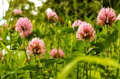 Clover wild flower, pink clover summer flowering plant. Pink clover summer flowering plant, clover wild flower Royalty Free Stock Photo