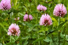 Clover wild flower, pink clover summer flowering plant. Pink clover summer flowering plant, clover wild flower Royalty Free Stock Images