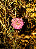 Pink Clover or Trifolium Stock Images