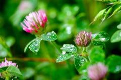 Pink Clover (Trifolium Pratense) Stock Image