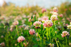 Pink clovers in the evening sunlight Royalty Free Stock Image