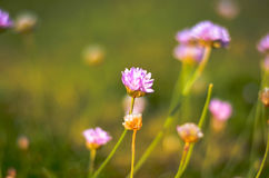 Pink clower flower blossoms on meadow Royalty Free Stock Image