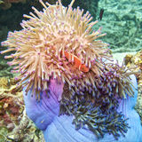 Pink clown fish in magnificent anemone Royalty Free Stock Photos