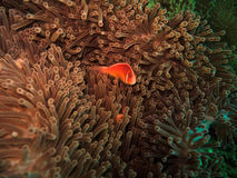 Pink clownfish (Amphiprion Perideraion). On sea anemone in Great Barrier Reef Australia stock image