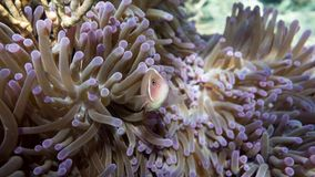 Pink Nemo. A pink clownfish in an anemone Royalty Free Stock Image