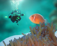 Pink clownfish and diver. Diver and Pink clownfish close-up. Borneo island Royalty Free Stock Images