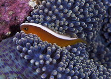 Pink Clownfish on Purple Carpet Anemone Stock Photos
