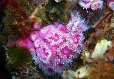 Pink Club-tipped Anemones next to a Rock Scallop. Pink and purple club-tipped anemones next to a rock scallop found off of central California's Channel Islands Royalty Free Stock Image